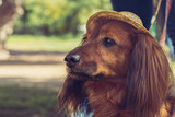 Brown long-haired dachshund with smart eyes in the hat. toned close up view