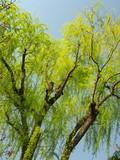 芽吹きの枝垂れ柳
