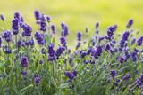 lavender flowers - 207626002
