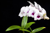 The orchid Dendrobium