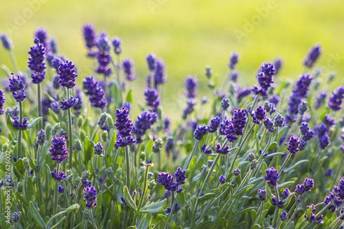 Fotobehang Lavendel lavender flowers