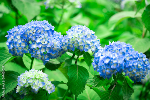 Fotobehang Hydrangea Blue Hydrangea flower in Japan