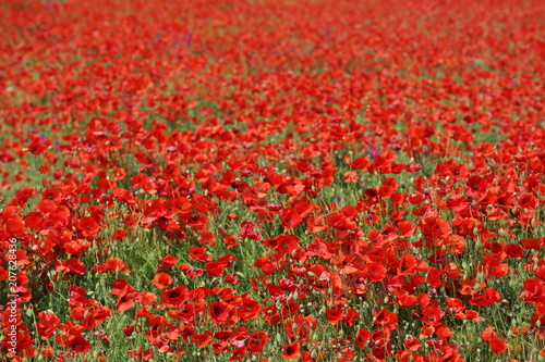 Fotobehang Rood traf. Spring meadow with blossom poppy flowers