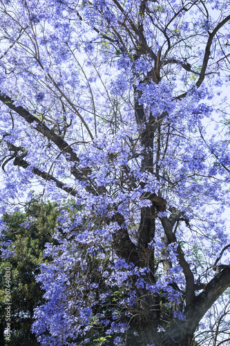 Fotobehang Palermo Beautiful flowering tree of Jacaranda in Palermo, Sicily