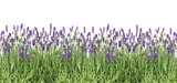 Fototapeta Lawenda - Lavender flowers Fresh lavender plants isolated white background © LiliGraphie