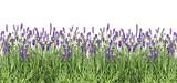 Lavender flowers Fresh lavender plants isolated white background