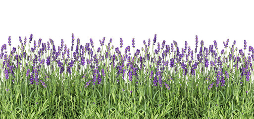 Lavender flowers Fresh lavender plants isolated white background