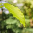 Mango leaves on Mango tree.