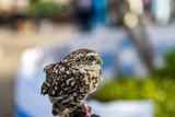 Aviemore Owl