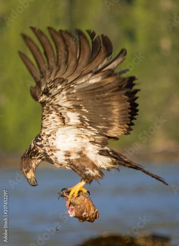 Plexiglas Eagle Eagle Feeding