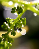 raindrops on a ripening grape fruits,