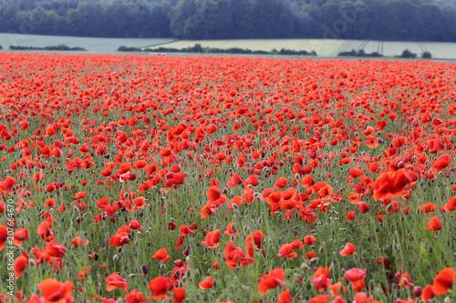 Fotobehang Koraal Red Poppies / Poppy Field