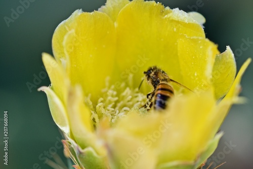 Foto Murales Image of bee or honeybee on yellow flower collects nectar. Golden honeybee on flower pollen. Insect. Animal.