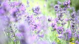 Flowers of Lavender, selective focus of lavender fields  - 207668824