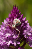Crab spider camouflag on a Pyramidal Orchid