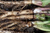 Fresh roots of dandelion (Taraxacum officinale) with dirt and on garden soil - 207675892
