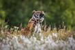siberian tiger on maedow