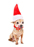 cute chihuahua with a santa hat on