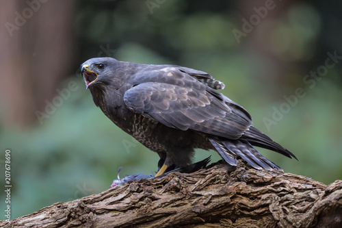 Canvas Eagle Common buzzard eating in the forest in the Netherlands