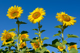 Yellow sunflowers grow in the field. Agricultural crops. - 207683639
