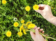 Female hand holding a dandelions