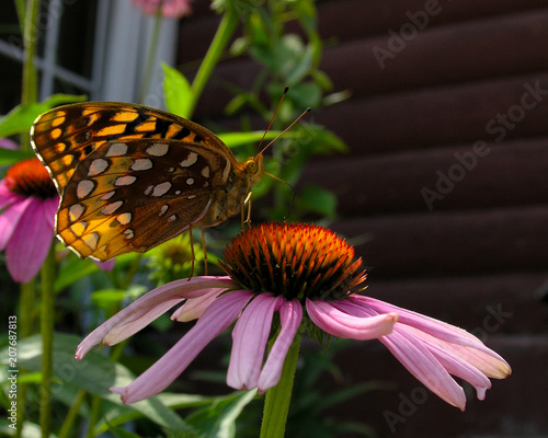 Monarch Butterfly on Pink Daisy