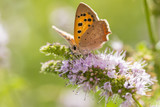 Small or common copper butterfly lycaena phlaeas closeup