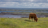 Brown Cow Landscape of cow grazing on Irish Hillside with Sea and Sky in Background