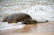 An endangered Hawaiian green sea turtle resting on a beach on Oahu with waves splattering around it.