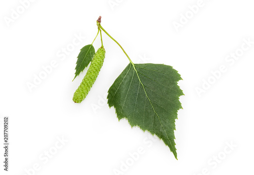 Birch leaves and catkin closeup on a white background - 207709202