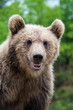 Leinwanddruck Bild - Brown bear (Ursus arctos) portrait in forest