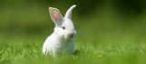 Baby white rabbit in grass