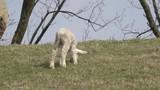 Lamb standing  on pasture and run away - 207712667