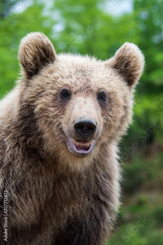 Brown bear (Ursus arctos) portrait in forest - 207712673