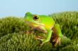 Tree frog on moss