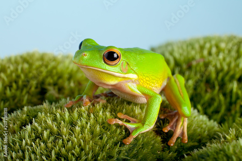 Fotobehang Kikker Tree frog on moss
