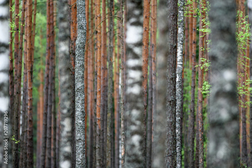 Pinus and Birch Forest background