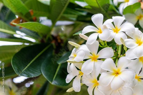 Fotobehang Plumeria Plumeria flower nature background.