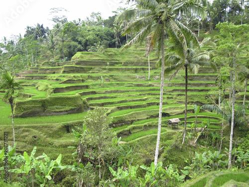 Plexiglas Bali rice field paddy Bali Indonesia