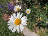 Marguerites dans le jardin
