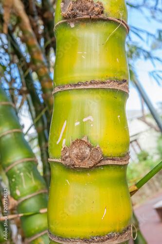 Fotobehang Boeddha bambou ventre de bouddha, Bambusa Ventricosa