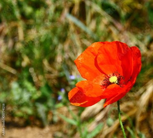 coquelicot, fleur sauvage isolé en gros plan