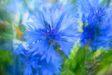 Blurred cornflowers background
