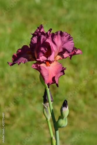 Aluminium Iris Tall bearded iris