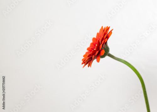 Fotobehang Gerbera Gerbera kopf, Grafisch, heller Hintergrund, platz für Text