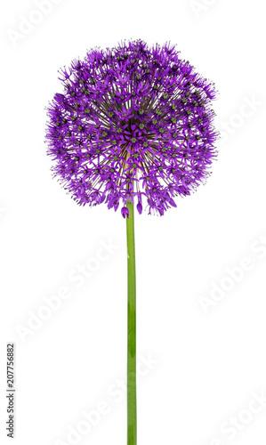 Allium kwiat na białym tle