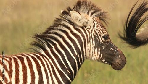 A Zebra foal