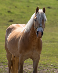 Norwegian horse in the pasture