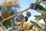 Ripe olives on branch in orchard