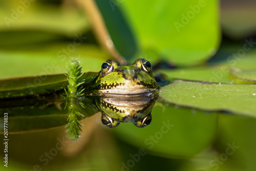Aluminium Kikker Front view of a green frog in a pond with good reflection in the water